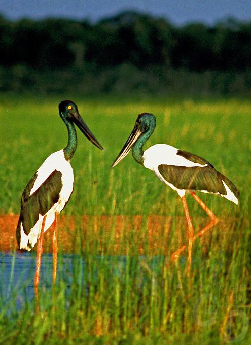 Jabiru Yellow Waters Kakadu National Park, Northern Territory, Australia