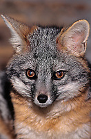 630709021 portrait of a male wildlife rescue gray fox urocyon cinereorgenteus species is native to the forested areas of north america