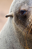 Abstract portrait of an adult Cape Fur Seal