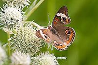 03411-011.13 Common Buckeye Butterfly (Junonia coenia) on Rattlesnake Master (Eryngium yuccifolium) Marion Co., IL