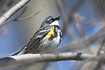 Yellow-rumped warbler - male