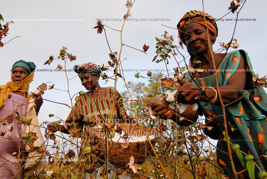 Africa Mali fairtrade and organic cotton project , women of village Faragouaran harvest cotton by hand