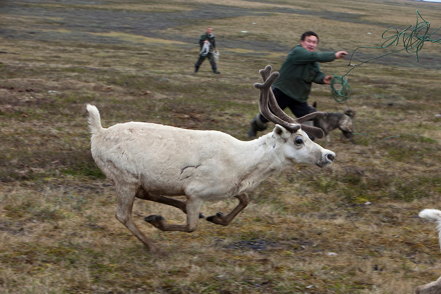 Bovanenkovo ,Yamal Peninsula, Russia, 09/07/2010..Nenets men lasso the tribe's reindeer at an overnight camp as the indigenous nomadic herders head north on sledges to the Russian Arctic coast..