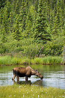 Cow moose in tundra pond in the Alaska mountain range, Interior, Alaska.