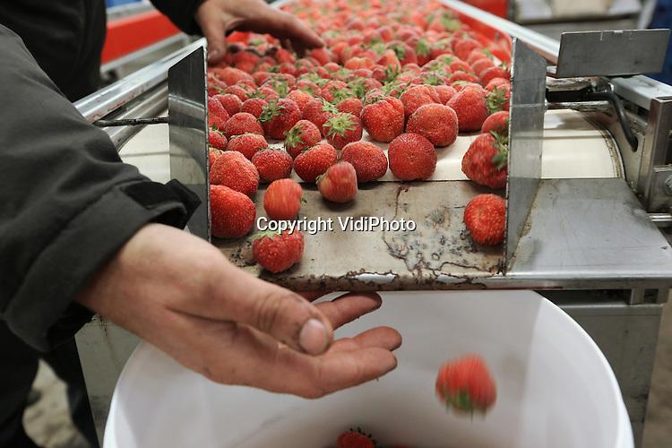 Foto: VidiPhoto<br /> <br /> SLIJK-EWIJK - Fruitteler Frederik Bunt uit Slijk-Ewijk in de Betuwe sorteert maandag ingevroren aardbeien, bestemd voor de fruitshakes van Nederlandse sporters. Wat vrijwel niemand weet, is dat de Nederlandse medaillesuccessen en topprestaties mede te danken zijn aan een stabiel en uitgekiend fruitdieet, waar Betuwse aardbeien een belangrijk bestanddeel van vormen. Teler, perceel en plukdatum moeten precies hetzelfde zijn voor dezelfde kwaliteit van de fruitshakes jaarrond. Daarom worden de aardbeien ook ingevroren. Nadat de aardbeien gesorteerd zijn, gaan ze naar de chefkok van Sportcentrum Papendal waar ze worden verwerkt tot de energierijke fruitshakes en met de sporters meereizen de hele wereld over. Het fruitbedrijf van Bunt, B&amp;B-fruit, levert samen met enkele Betuwse telers ook het basismateriaal voor diverse puur Nederlandse jams, sauzen en zuiveldranken. Het nieuwe fruitconcept van B&amp;B-fruit is in korte tijd uitgegroeid tot een megasucces. Inmiddels wordt jaarlijks zo'n 150 ton fruit op deze wijze verwerkt en afgezet.