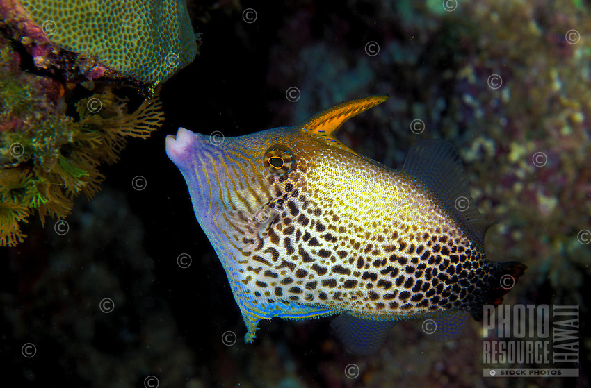 The Fantai Filefish (Pervagor spilosoma) . One of Hawaii's unique reef fishes. Hawaiian name is O ili uwi-uwi.