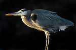 A great blue heron (Ardea herodias) stands out against the shadows in South Carolina.