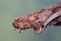 Großer Sackträger, Sackträger, Raupe, Larve in ihrem Gespinstsack, Raupensack, Canephora hirsuta, Canephora unicolor, Psyche unicolor, hairy sweep, bagworm, Echte Sackträger, Psychidae, bagworm moths, bagworms, bagmoths