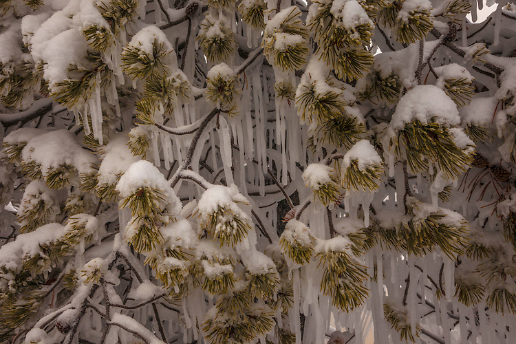 Extreme cold and humid air from geothermal areas converts a normal pine tree into an art form of icicles and pine boughs