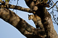 Leopard (Panthera pardus) hunting from the vantage of a tree