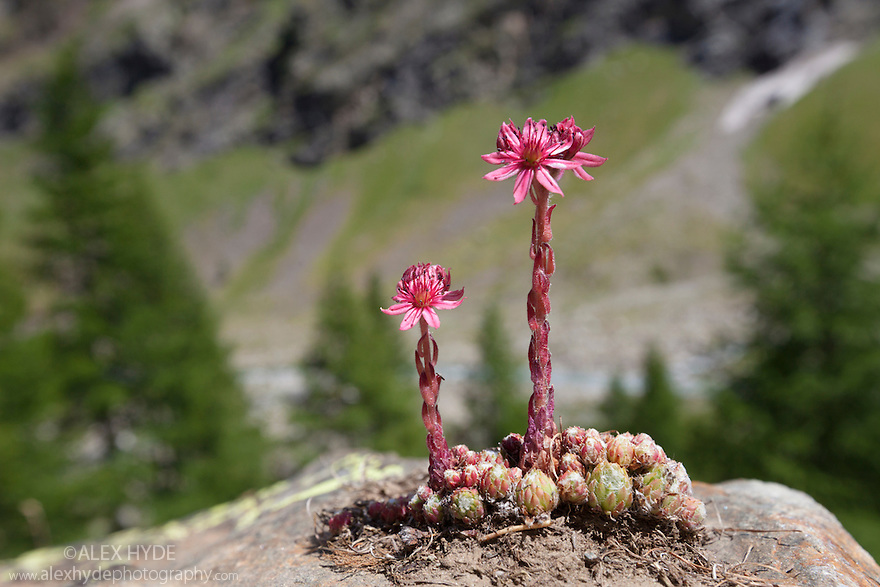 Cobweb houseleek {Sempervivum arachnoideum ssp. arachnoideum} growing amongst rocks. Gran Paradiso National Park, Aosta Valley, Pennine Alps, Italy. July.