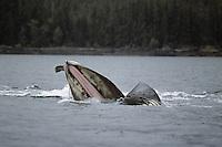 Humpback whale (Megaptera novaeangliae) lunge feeding.  Alaska.  Summer.