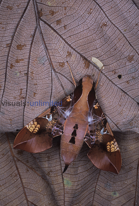 Sphinx Moth (Callionima inuus), Ecuador.