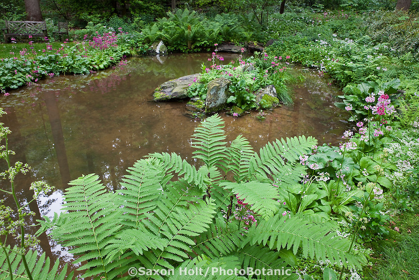 Fern Osmuda claytoniana (Interrupted Fern) by woodland pond in environmentally-responsible, native plant sustainable garden, Mt Cuba Center Delaware