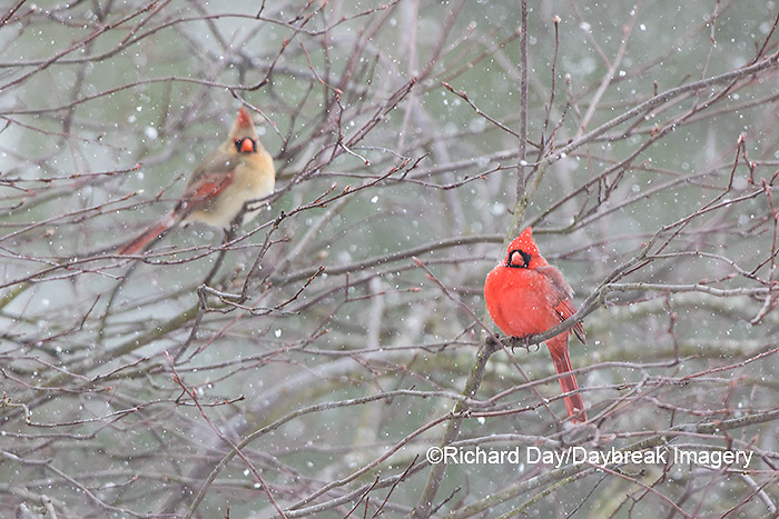 01530-22601 Northern Cardinal (Cardinalis cardinalis) males and female in bush in winter Marion Co., IL