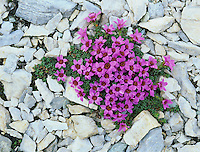 Purple Saxifrage, Saxifraga oppositifolia, blooming ,Cassonsgrat, Switzerland, Europe