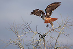 Redtail hawk at take-off.