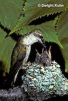 HU10-040x  Ruby-throated Hummingbird - female feeding nectar to  baby birds in nest  -  Archilochus colubris