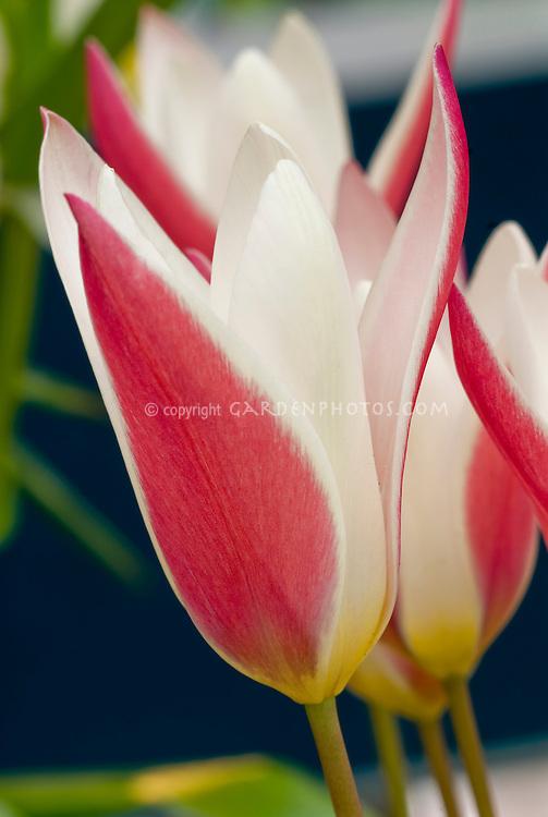 Tulipa clusiana 'Lady Jane' red and white striped spring bulb, tulip species, dwarf tulip