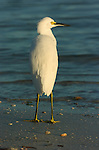 Snowy Egret at Sunrise Sanibel Island Florida