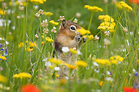 Spring wildflowers provide an edible boquet for a small chipmunk