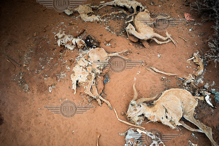 The desicated remains of dead sheep and goats, which died due to the ongoing drought. <br /> The Horn of Africa is experiencing a devastating drought with over 11m people threatened by famine.