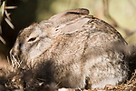 Tucson, Arizona; a Desert Cottontail (Sylvilagus audubonii) rabbit hiding under a cactus in early morning sunlight