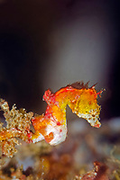Pontoh's pygmy seahorse, or weedy pygmy seahorse, Hippocampus pontohi, Lembeh Strait, North SUuawesi, Indonesia, Pacific Ocean