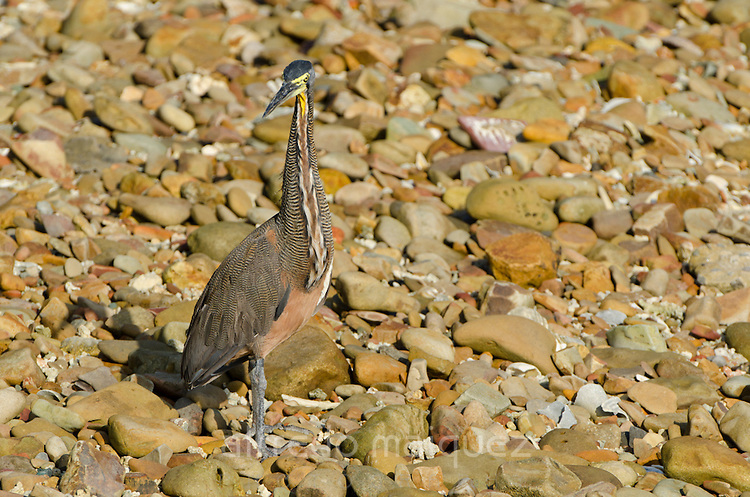 Bare-throated Tiger-Heron (Tigrisoma mexicanum) standing on stony floor. Pacheca Island, Las Perlas Archipelago, Panama, Central America.