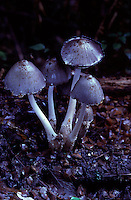 A lovely example of this species of Fungus known in the botanical world as Coprinus sp.