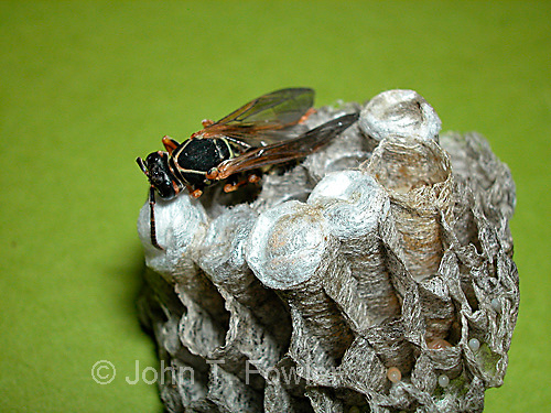 Paper wasps emerging