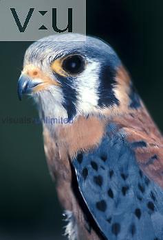 American Kestrel ,Falco sparverius, Santa Rosa, California, USA