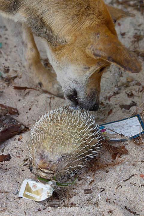 Ao Bang Kao. Beach dog with dead fugu.