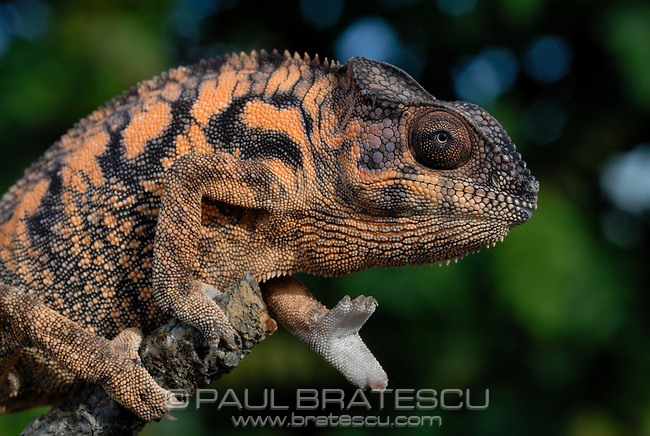 Panther Chameleon (Furcifer pardalis) Female