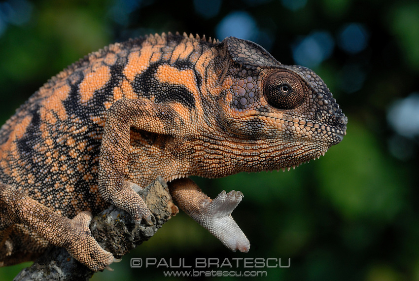 Panther Chameleon (Furcifer pardalis) Female