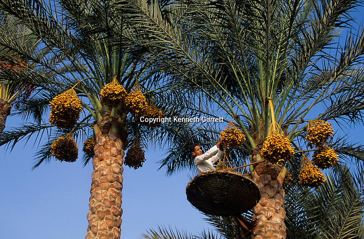 Egypt; Daily Life; Date Palms; Egypt's Old Kingdom, harvest,Egypt, modern, daily life, dates, traditional