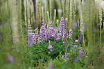 Wild Lupine flowers growing along with  stalks of Beargrass in Montana's National Forests