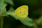 Common Grass Yellow Butterfly, Eurema hecabe, Sri Lanka