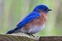 Eastern Bluebird, May 4, 2011