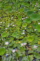 Water lilies in pond. Kauai, Hawaii