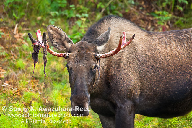 Close up of Bull Moose with shedding velvet antlers, Kincaid Park, Anchorage, Southcentral Alaska, Autumn.