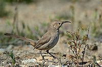581970030 a wild lecontes thrasher toxostoma lecontei perches in a chapparal plant near maricopa in kern county california