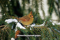 01530-09116 Northern Cardinal (Cardinalis cardinalis) female in spruce tree in winter, Marion Co.  IL