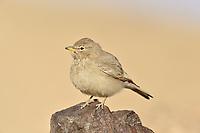 Desert Lark - Ammomanes deserti