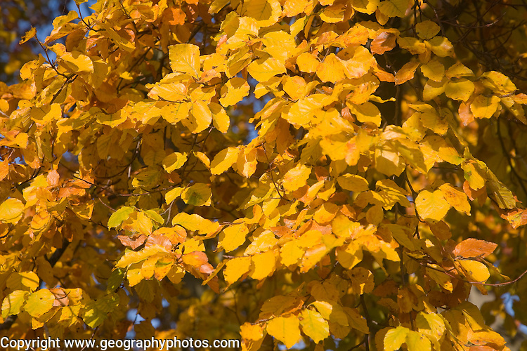Close up of autumn leaves on Common Beech tree, Fagus sylvatica, Suffolk, England