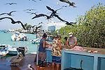 Puerto Ayora, Santa Cruz Island, Galapagos, Ecuador;  frigatebirds fly overhead and pelicans wait on the ground to be fed the scraps from fishermen cleaning and fileting fish at the fishing pier at Pelican Point , Copyright © Matthew Meier, matthewmeierphoto.com All Rights Reserved