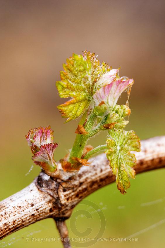 bud burst on the vine and counter-bud contre-bourgeon ch gd barrail lamarzelle figeac saint emilion bordeaux france