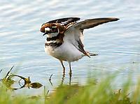 Adult killdeer with wings raised