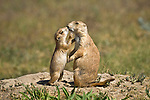 A pair of Black-tailed prairie dogs kiss at Custer State Park, South Dakota.