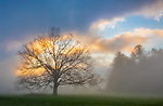 Great Smoky Mountains National Park, TN/NC: White oak tree (Quercus alba) with ground fog at sunrise in Cades Cove in early spring